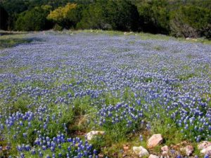 Bluebonnet wildflowers on 14 acre lot for sale in Burnet, TX