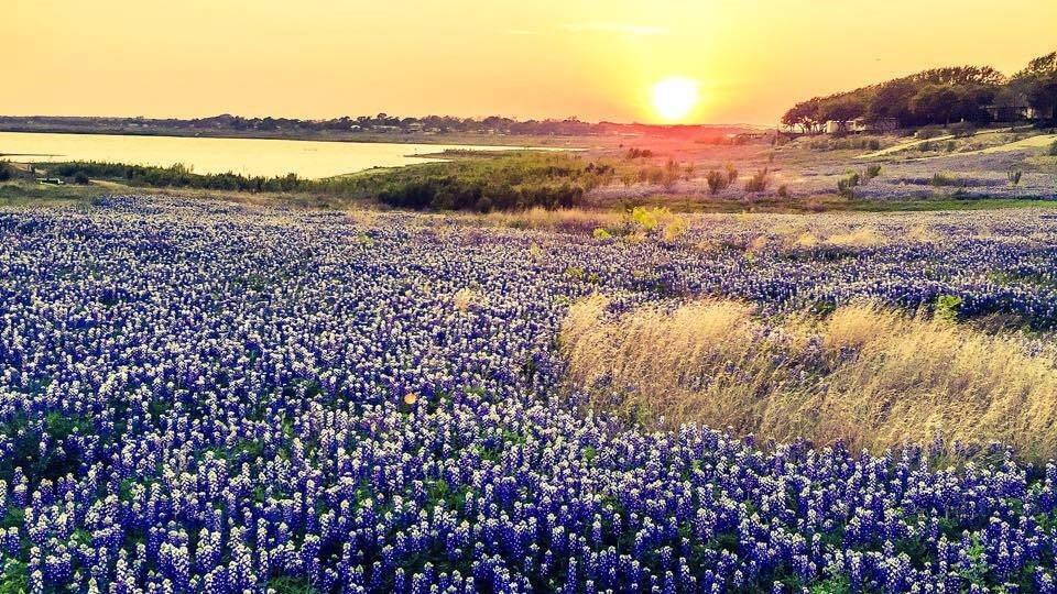 Bluebonnet flowers and sunset in Burnet, TX